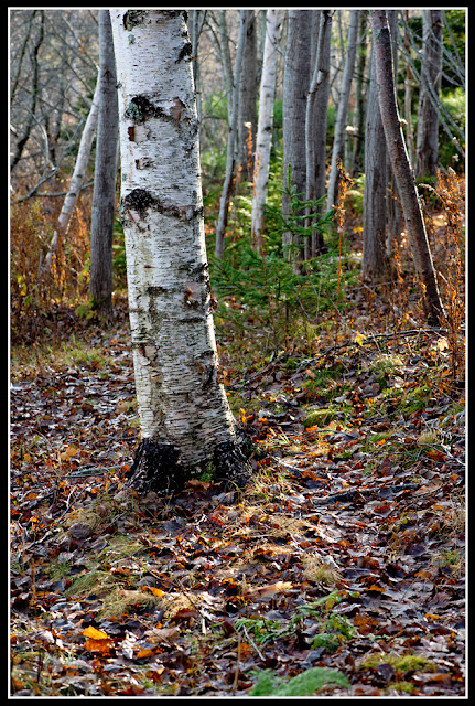 Nova Scotia; Tree; Birch