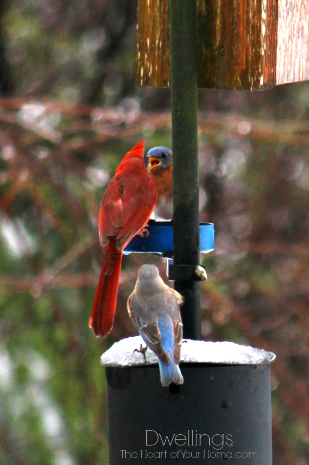 bluebirds and cardinal