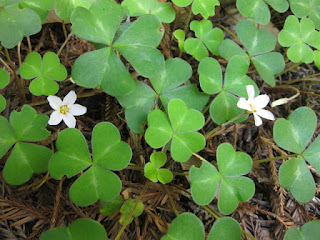 Redwood sorrel in bloom along Skyland Road, Los Gatos, California