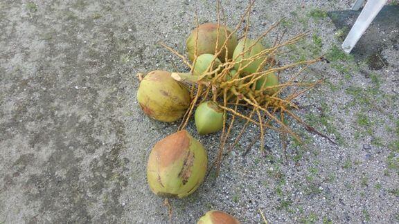 pokok kelapa tumbang