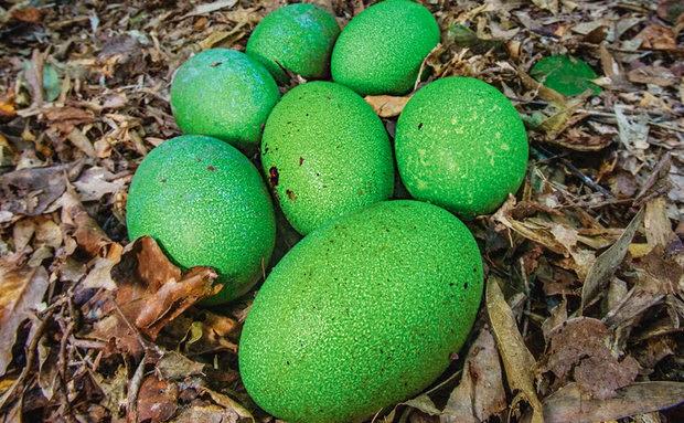 ovos-casuar-ninho
