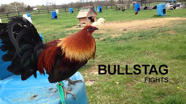 Keunikan Event Bullstag Sabung Ayam Pisau Filipina