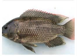 Jorok dan Bisa Memicu Kanker! Kita Harus Pikir Dua Kali untuk Makan Ikan Ini