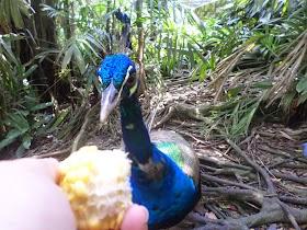 マレーシアの鳥は放し飼い?クアラルンプールのバードパーク