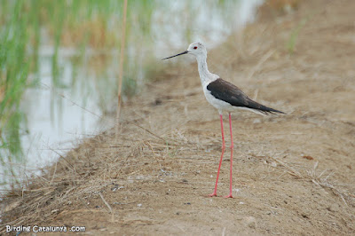 Camesllargues (Himantopus himantopus)