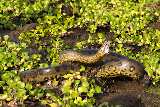 7 unknown Facts About Anaconda Snake