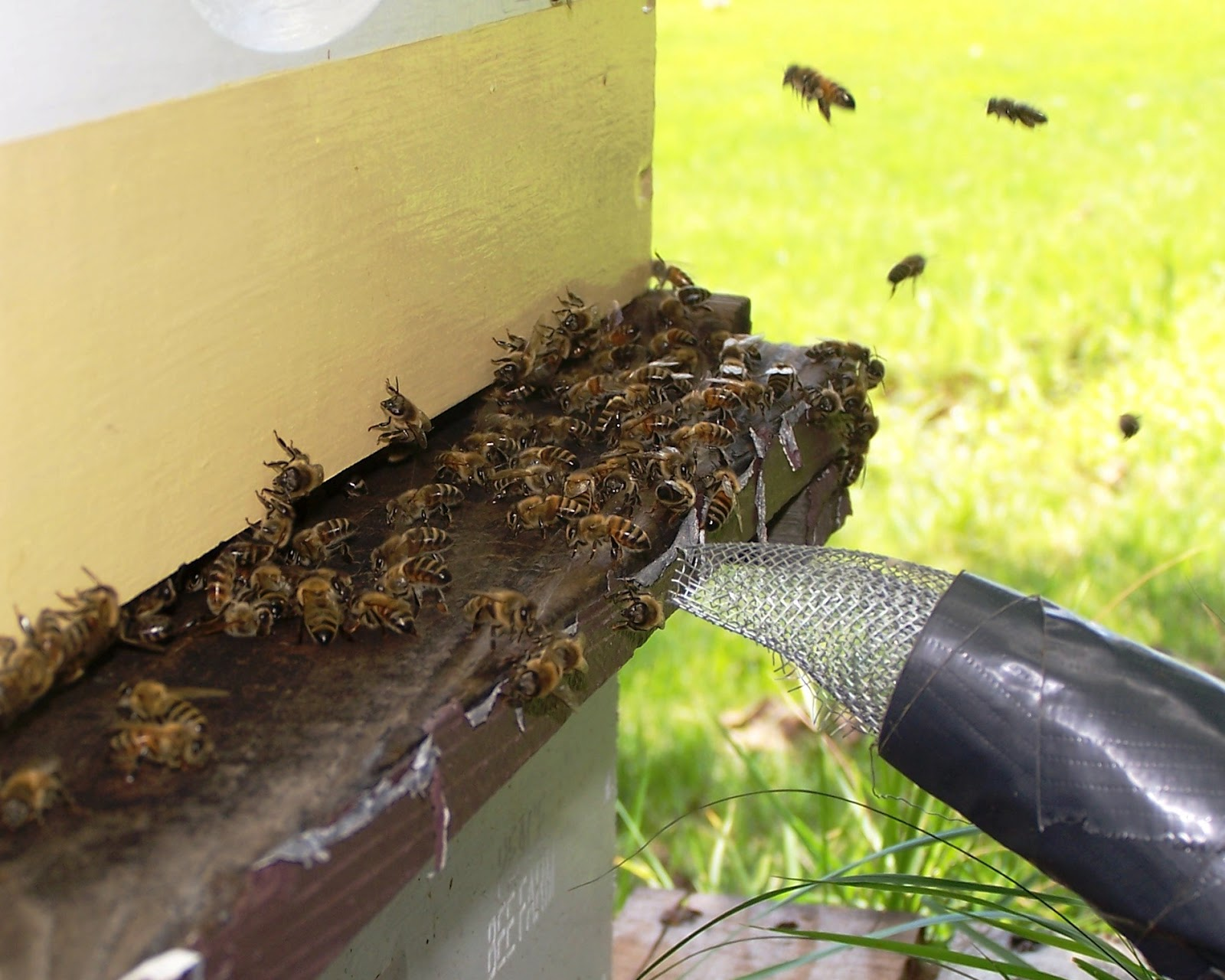 The peace bee farmer bee transfer continues for Modern hive