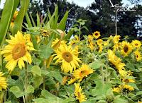 Sonnenblumen auf dem Acker