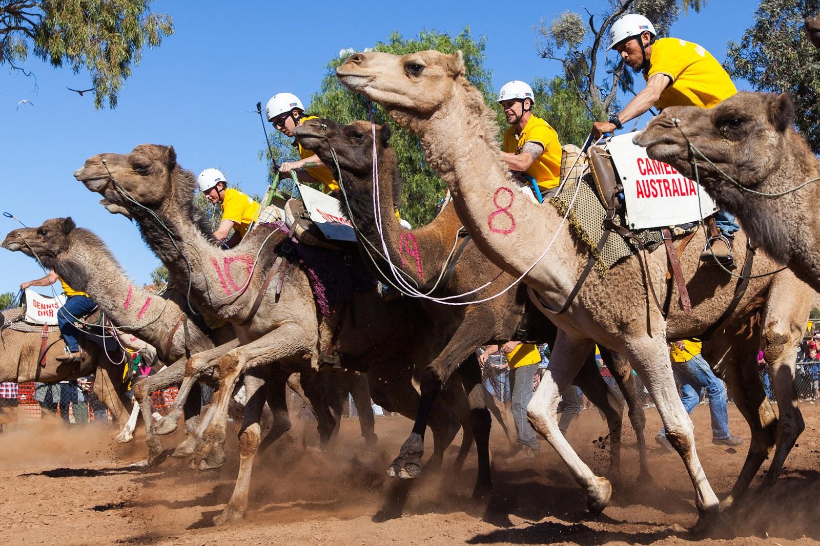 Downunder Daisy: Australian Camels