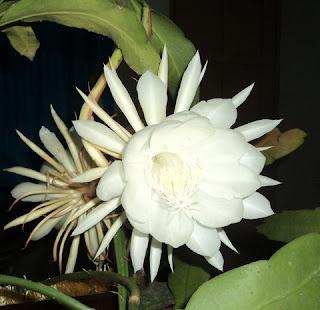 Bunga Wijayakusuma