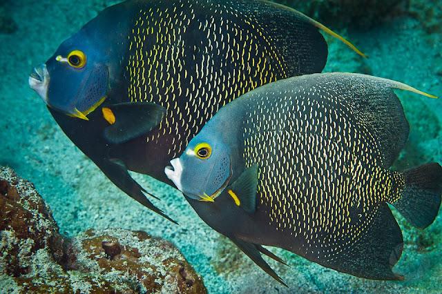 Dunia Ikan Hias - Anglefish Prancis
