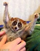 Fica Cãomigo: Primata sensação na internet pode matar você ...
