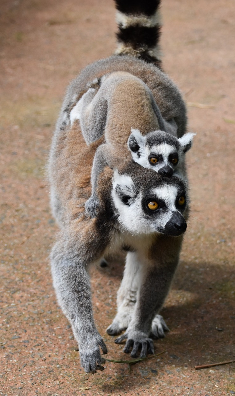A young lemur enjoying a piggyback ride.