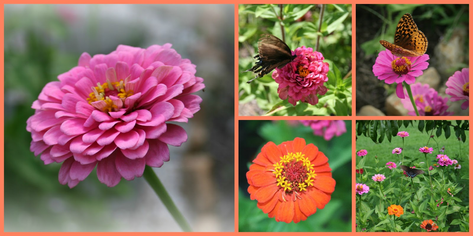 seven oaks home and garden joy need an easy to grow flower try zinnias. Black Bedroom Furniture Sets. Home Design Ideas