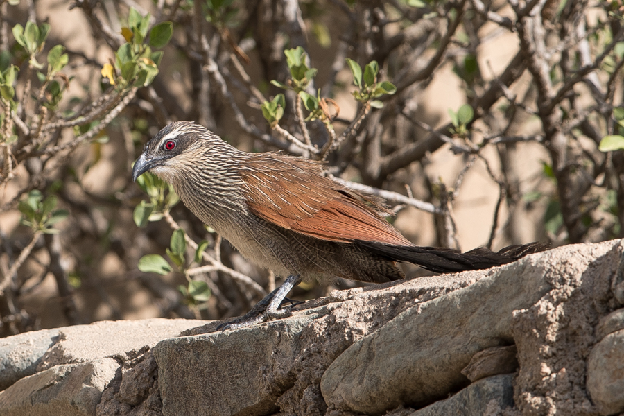 White-browed Coucal - Centropus superciliosus