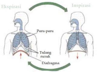 Mekanisme Proses Pernapasan Pada Manusia