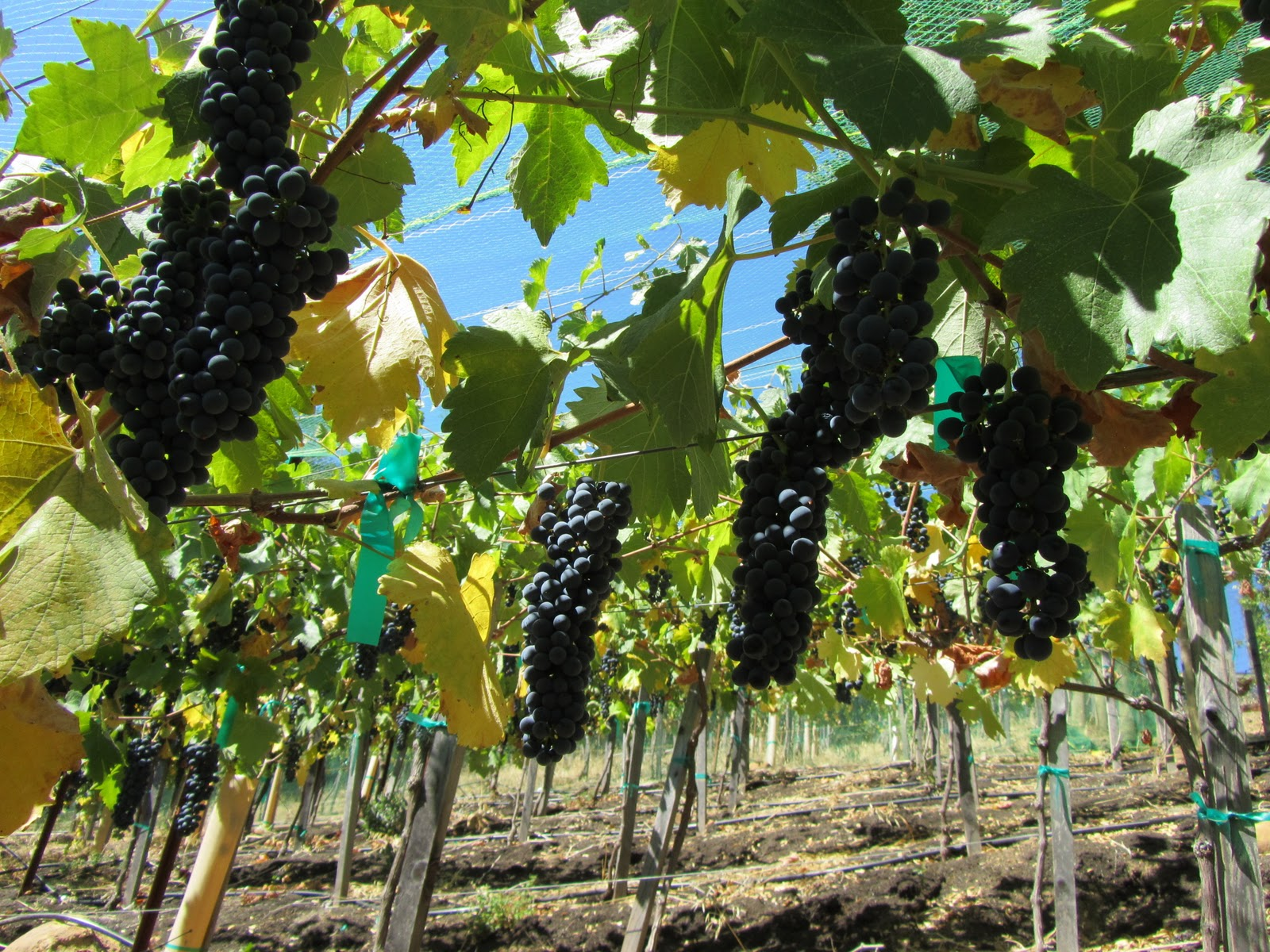 The Harvest Decision — Is it all about Brix? | Left Bend