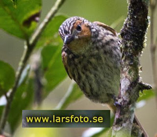 10 jenis burung kancilan yang jarang dikenal