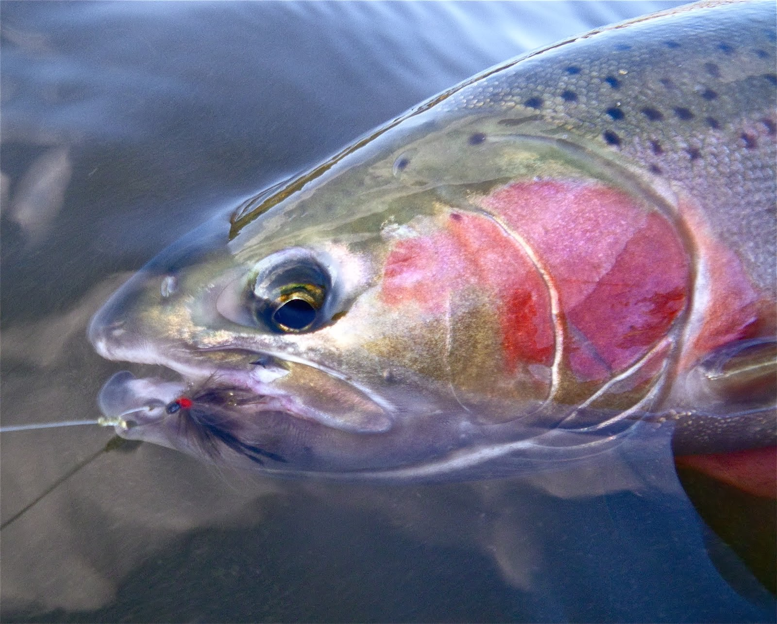 steelhead face