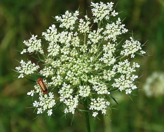 Marchew zwyczajna (Daucus carota).