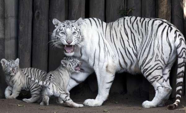 Tigre-branco, sua pelagem é branca, mas, diferente dos albinos, possui listras que podem ser pretas, marrons ou cinzas. Eles nascem ocasionalmente, de forma natural. Estima-se que ocorra na proporção de 1 a cada 10.000 nascimentos naturais.