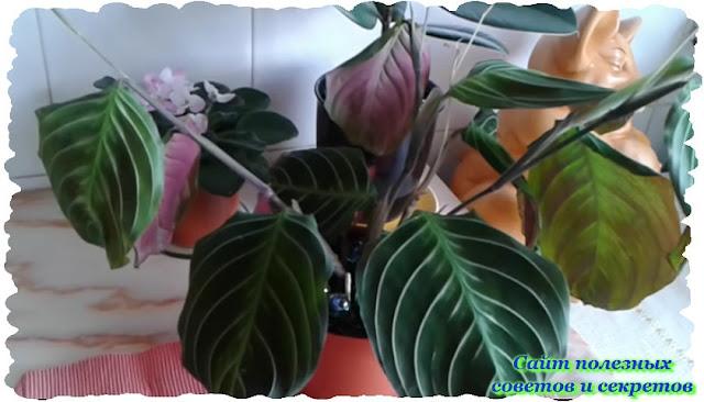 Комнатное растение - Маранта. Выращивание и уход
