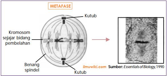 Gambar Metafase pada pembelahan mitosis