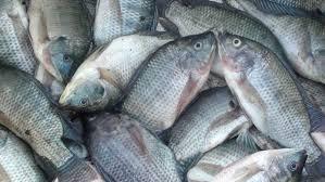 ikan nila lokal