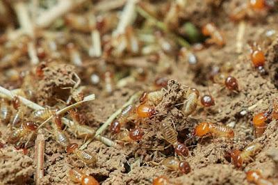 4 أسباب لوجود النمل الأبيض في منزلك