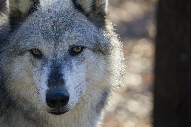 angry grey wolf - photo #21