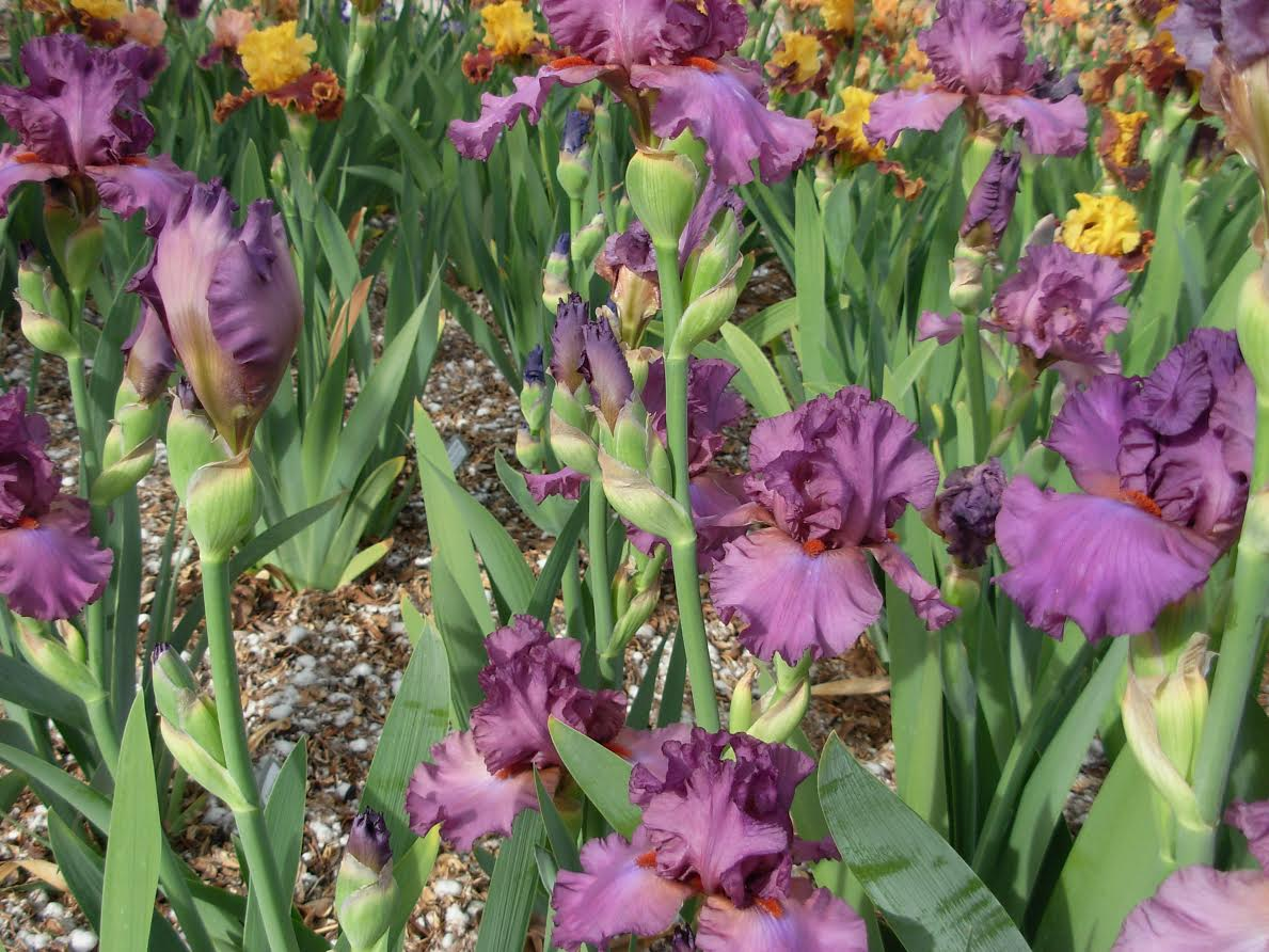 World Of Irises Exceptional Performers In A Lousy Bloom Season