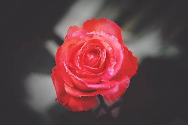 a real red rose