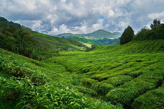 tea-types,tea plant,tea-benefits,history-of-tea,tea-leaves,black-tea,green-tea,tea-brands,White-Tea,Oolong-Tea