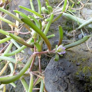 Spergulaire des marais salés - Spergularia salina - Spergulaire marine - Spergularia marina