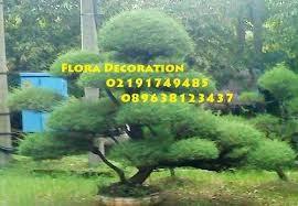 harga jual pohon bonsai cemara udang dengan harga paling murah