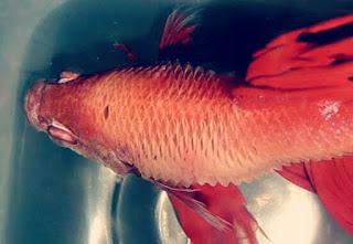 Penyakit Ikan Cupang dan Cara Pengobatannya