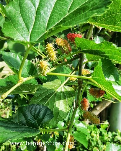 Morus alba, White Mulberry