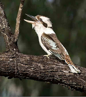 Kookaburra laughing