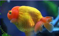 Jenis Ikan Koki Lionhead cara merawat