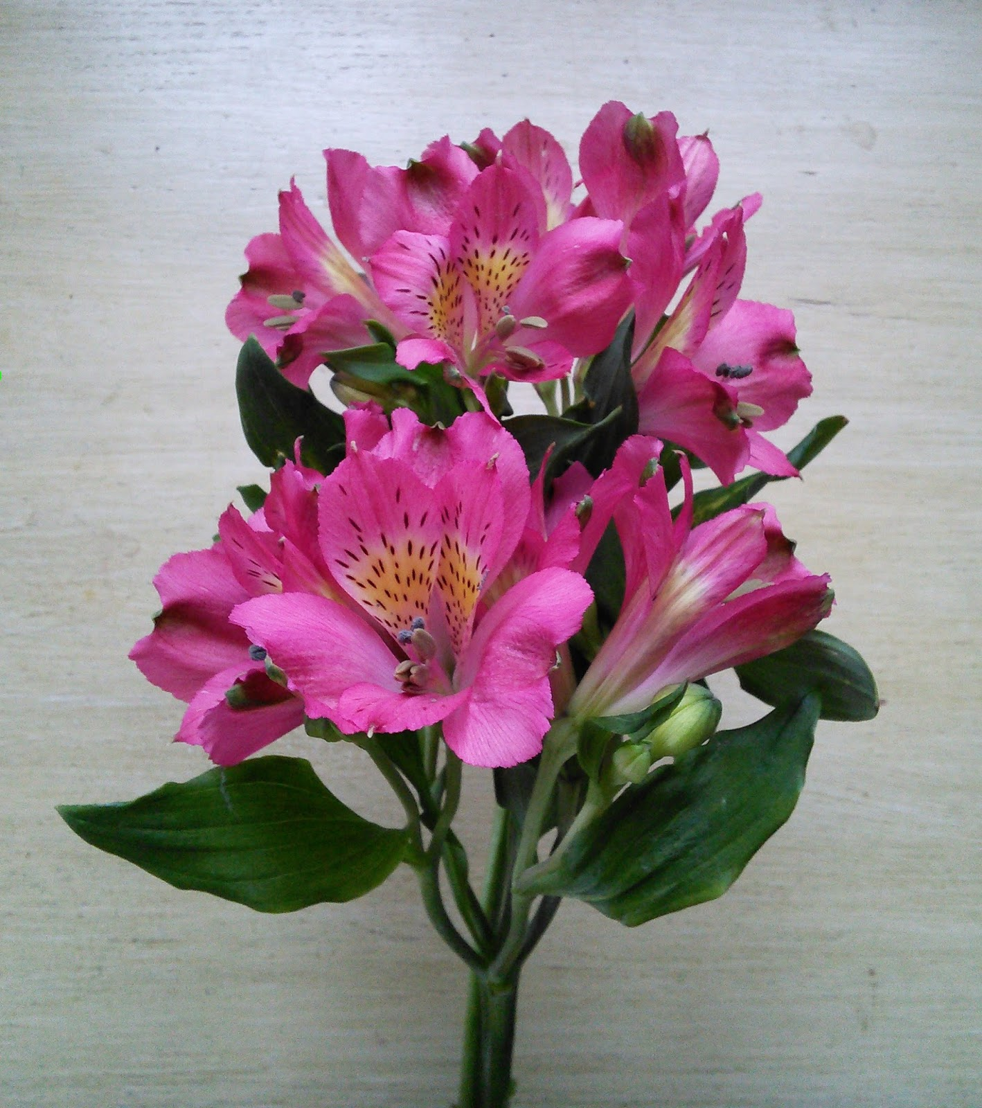 In the garden alstreomeria peruvian lily alstroemeria peruvian lily is a really pretty flower that grows wild in south america the native flowers are usually yellow or orange but the hybrids mightylinksfo
