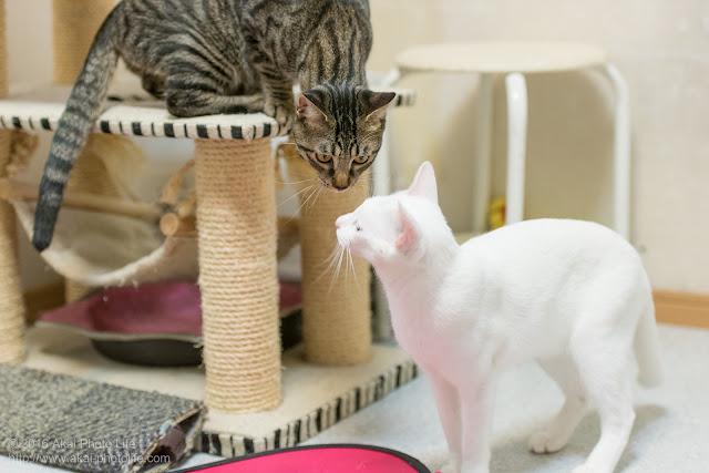 西国分寺シェルターにいる遊び好きな城猫と警戒心の強いキジトラが鼻チュウで挨拶している写真