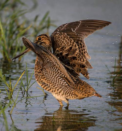 Birds of India - Photo of Pintail snipe - Gallinago stenura