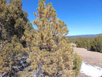 pinyon pine tree is showing distress from afar