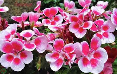 geranium flower, geranium