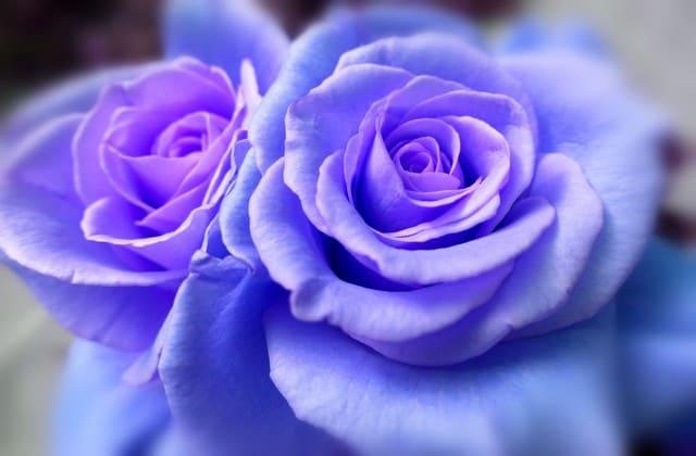 Bunga yang selalu dibeli banyak orang saat hari valentine