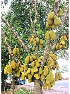 Jackfruit Tree | Jackfruit: Health and Nutritional Facts | The Knowledge Hunt
