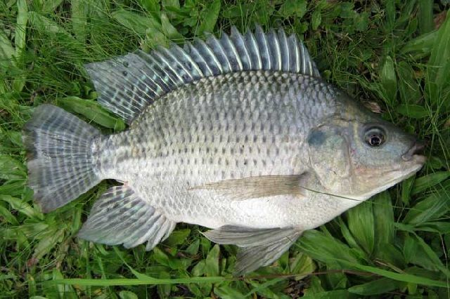 Klasifikasi Morfologi Ikan Nila