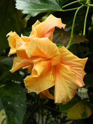 Pale orange tropical Hibiscus rosa-sinensis flower at the Allan Gardens Conservatory by garden muses-not another Toronto gardening blog