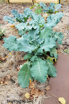 December Garden Update Broccoli SkipTheBag