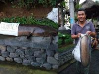 Ikan Lele satu meter di selokan hebohkan warga di Denpasar